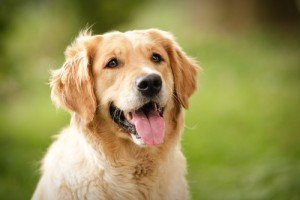 Golden-Retriever-Dog-Photo